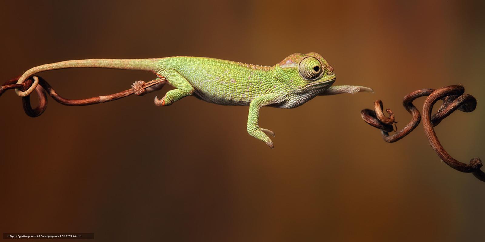 Download wallpaper chameleon,  lizard free desktop wallpaper in the resolution 2400x1200 — picture №100173