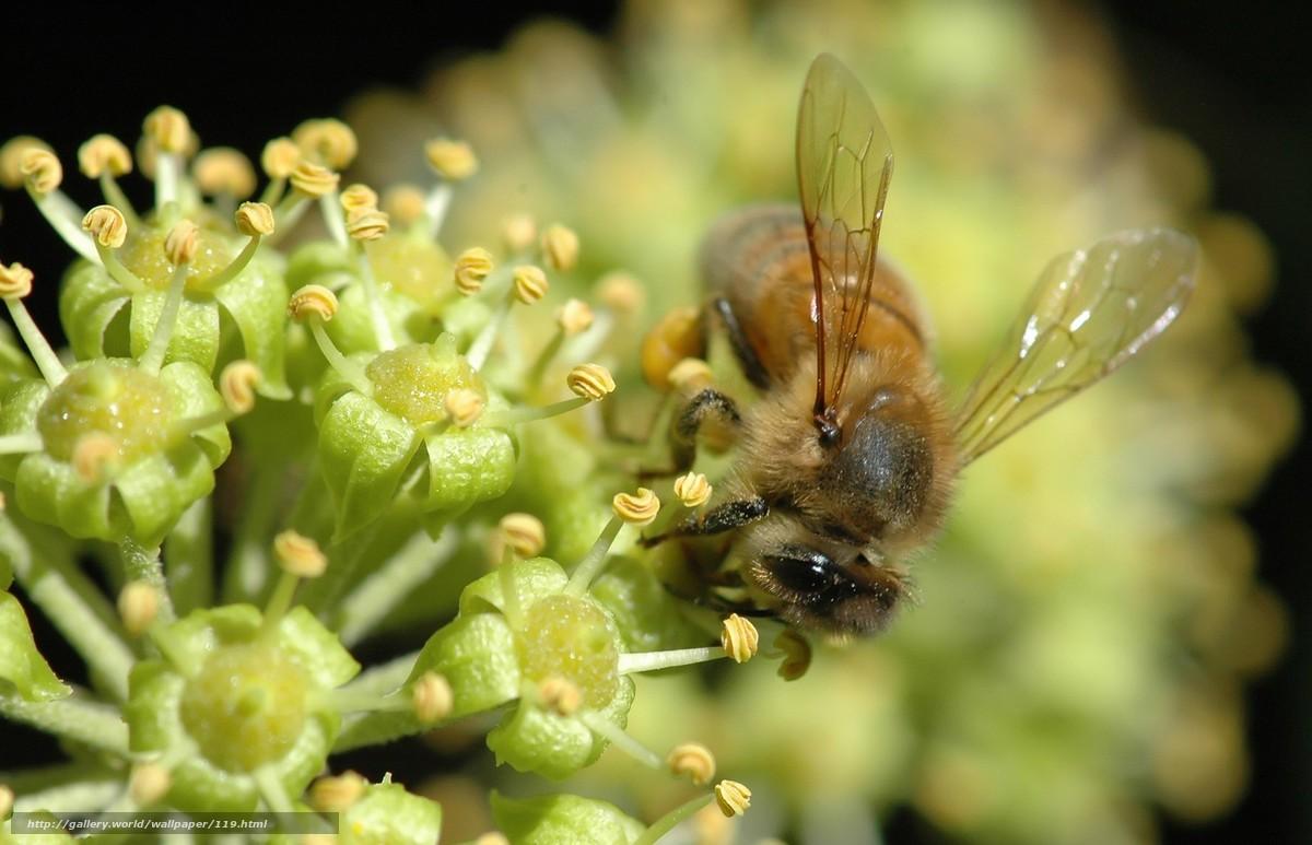 壁紙をダウンロード 蜂,  花,  makrosemka,  ネクター デスクトップの解像度のための無料壁紙 1680x1082 — 絵 №119