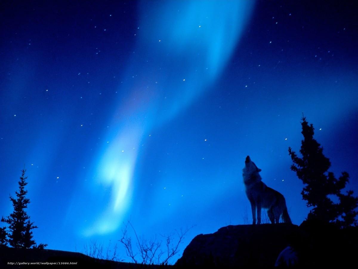 壁紙をダウンロード 夜,  オオカミ,  輝く,  森 デスクトップの解像度のための無料壁紙 1600x1200 — 絵 №13086