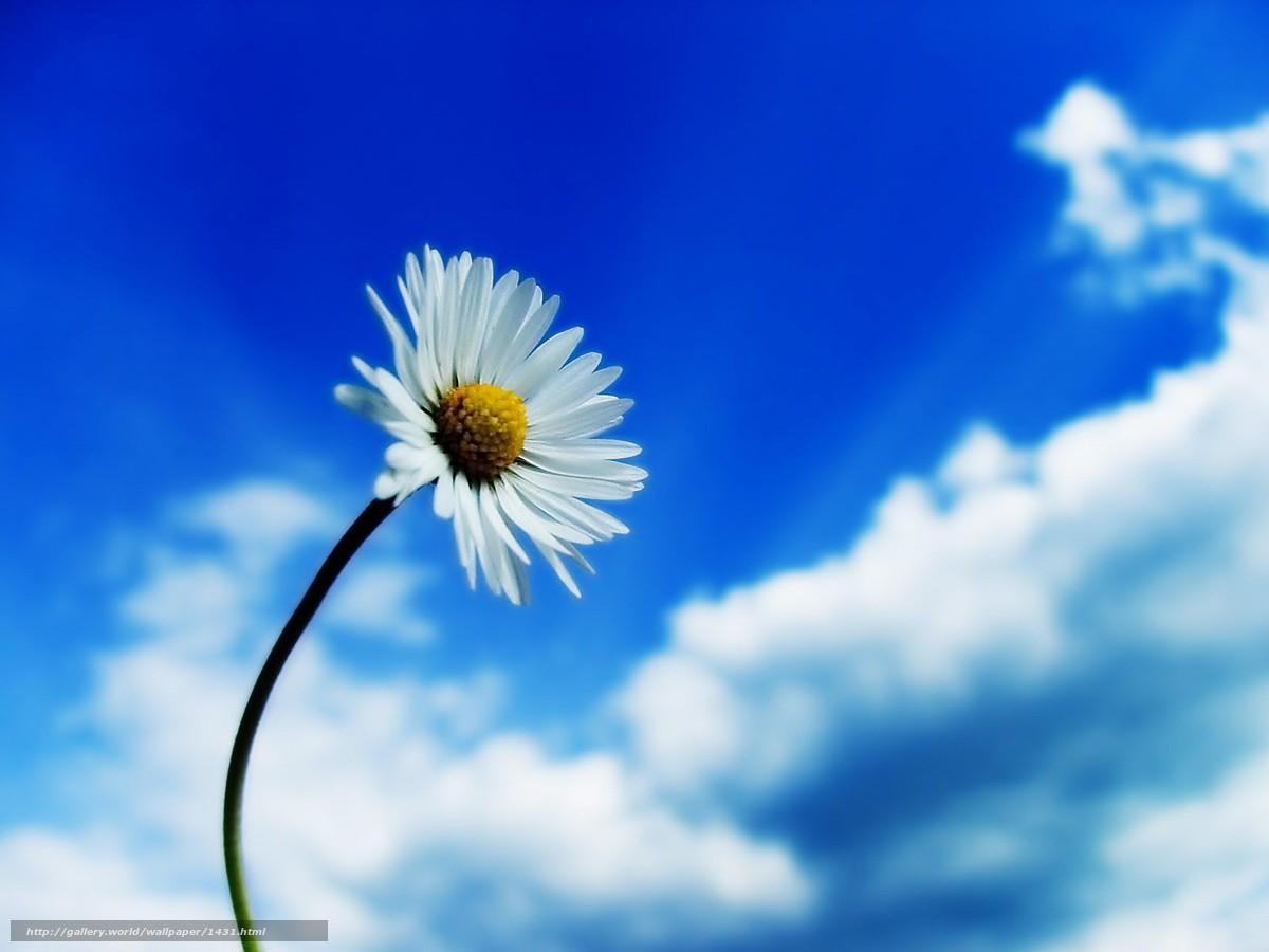 scaricare gli sfondi fiore,  camomilla,  cielo Sfondi gratis per la risoluzione del desktop 1600x1200 — immagine №1431