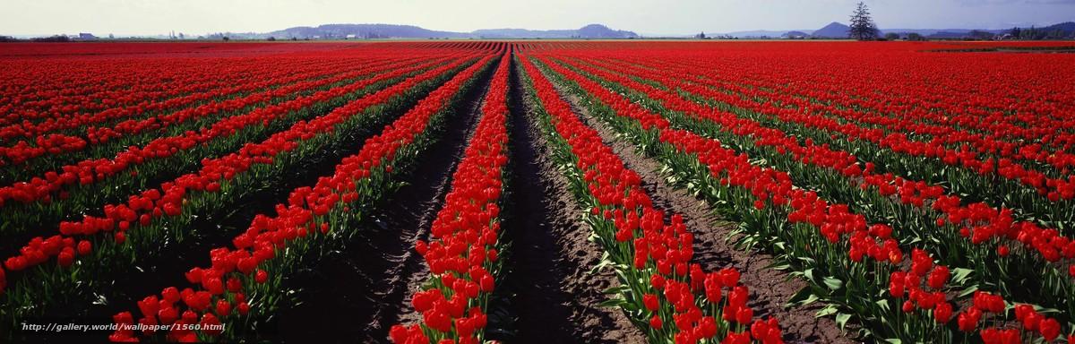 Скачать обои панорама,  поле,  тюльпаны бесплатно для рабочего стола в разрешении 3750x1200 — картинка №1560