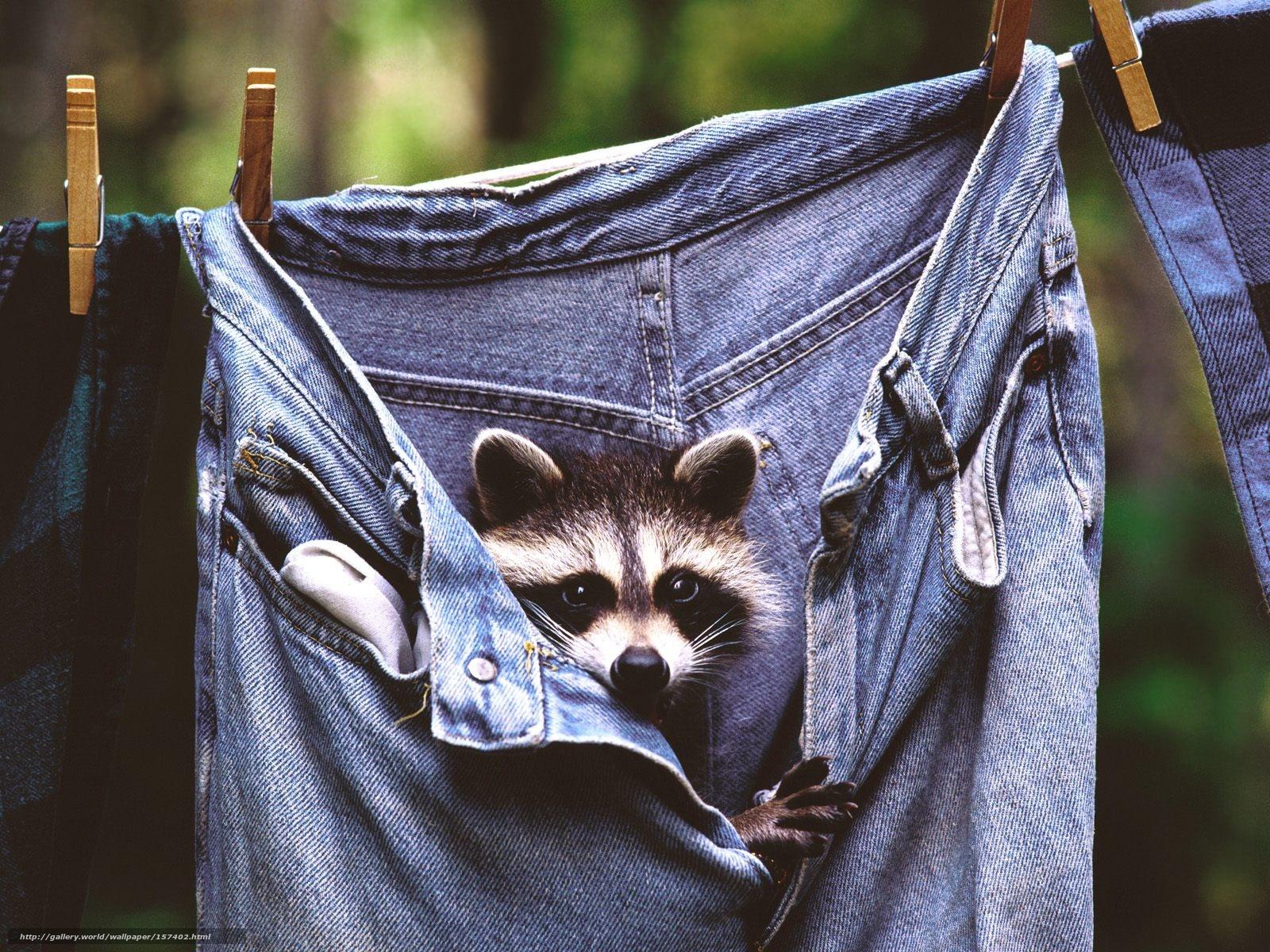 Descargar gratis mapache,  pantalones vaqueros,  Animales Fondos de escritorio en la resolucin 1600x1200 — imagen №157402