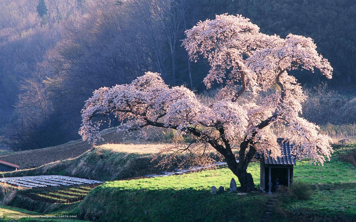 Sakura baum