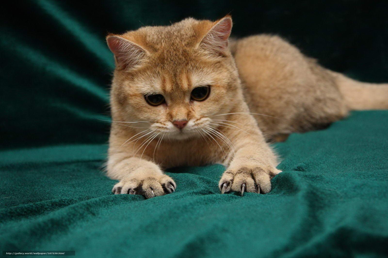 Скачать обои кот,  грозно,  когти,  лапы бесплатно для рабочего стола в разрешении 1600x1067 — картинка №187339