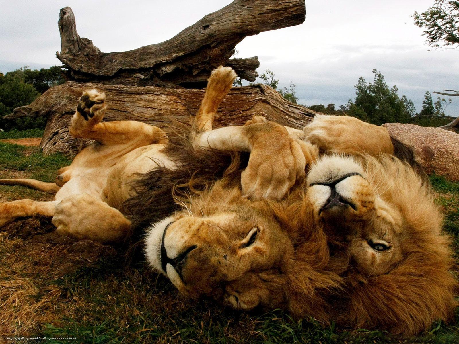 scaricare gli sfondi Lions,  savana,  pigro Sfondi gratis per la risoluzione del desktop 1600x1200 — immagine №187415