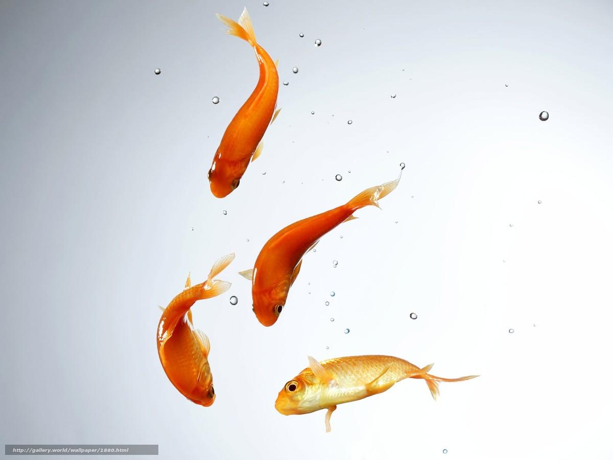 Скачать обои рыбки,  вода,  минимализм бесплатно для рабочего стола в разрешении 1600x1200 — картинка №1880