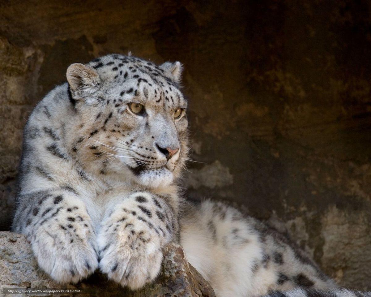 Скачать фото картинки дальневосточный леопард hd