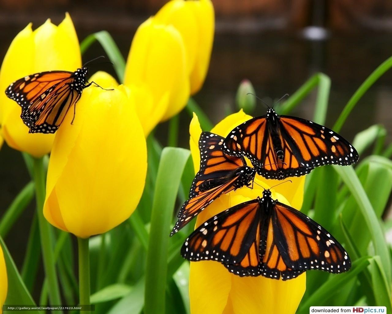 Scaricare gli sfondi farfalle sui fiori tulipani gialli for Immagini farfalle per desktop
