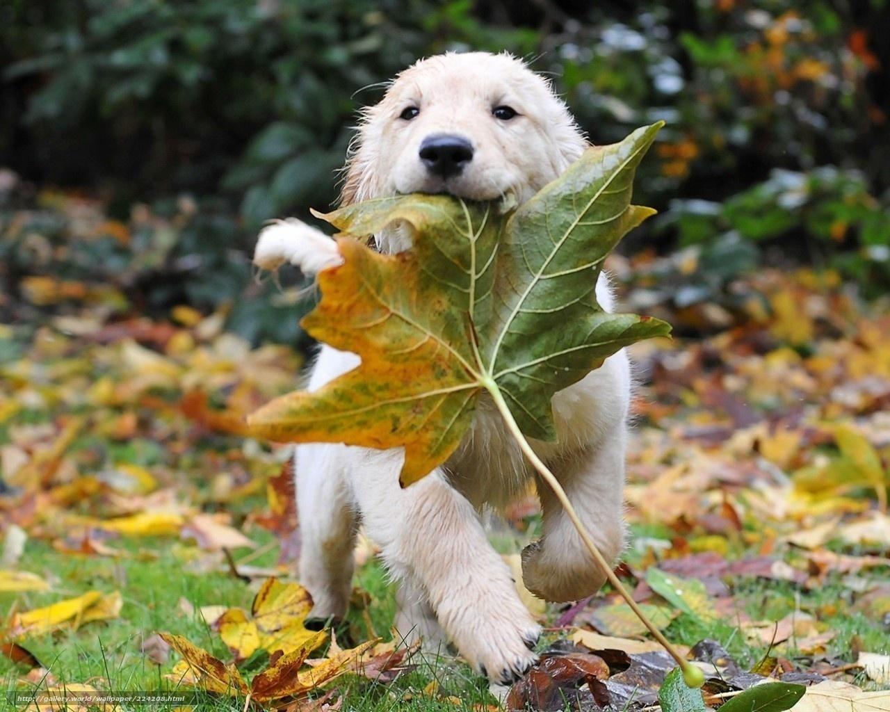Download Hintergrund Hund Blatt Herbst Freie Desktop