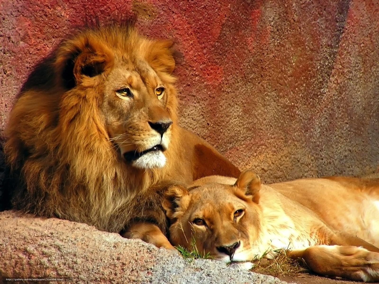Scaricare gli sfondi lions leone leonessa predatore for Sfondi leone