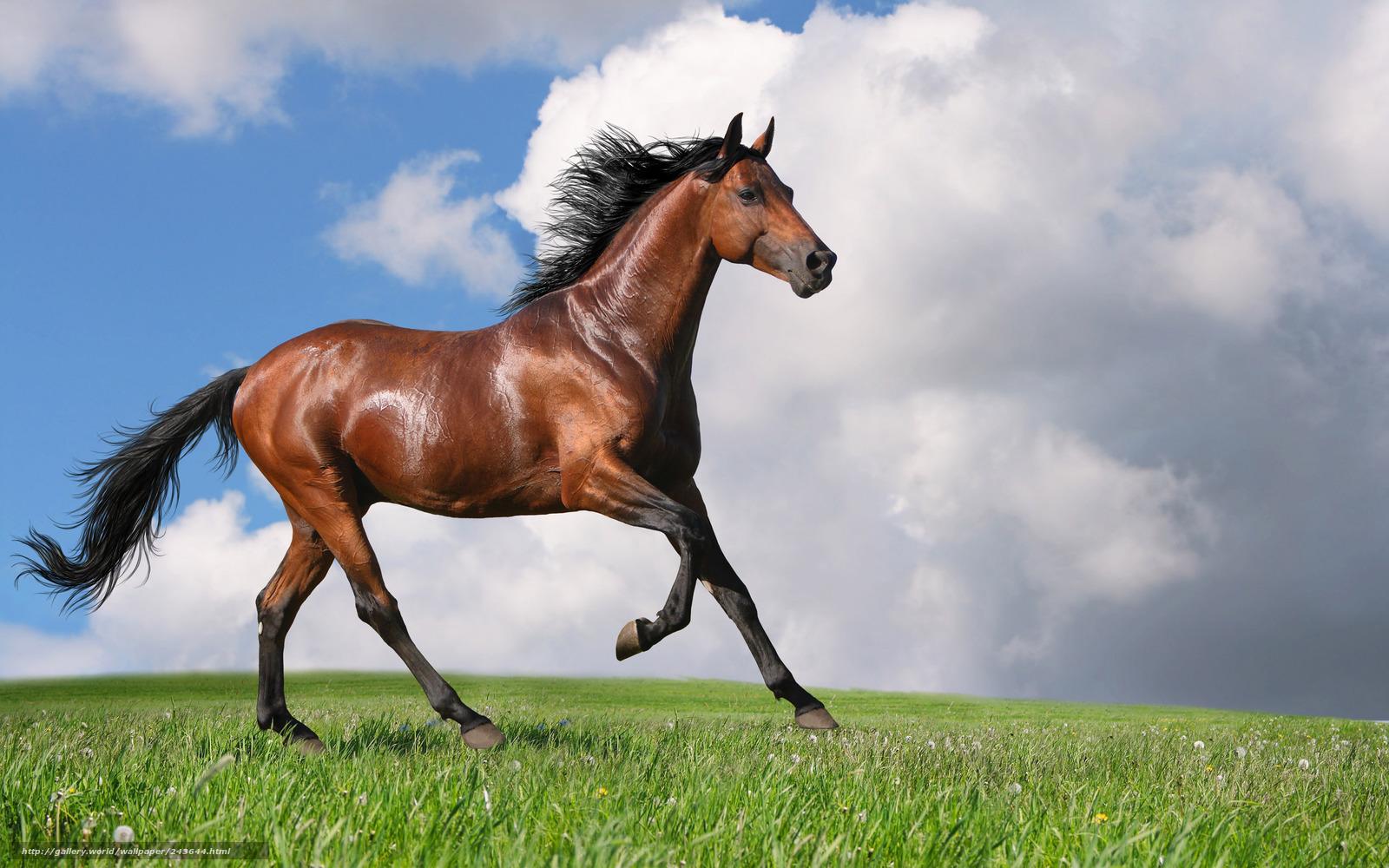 Tlcharger Fond d'ecran cheval, cheval, baie Fonds d'ecran gratuits pour votre rsolution du ...