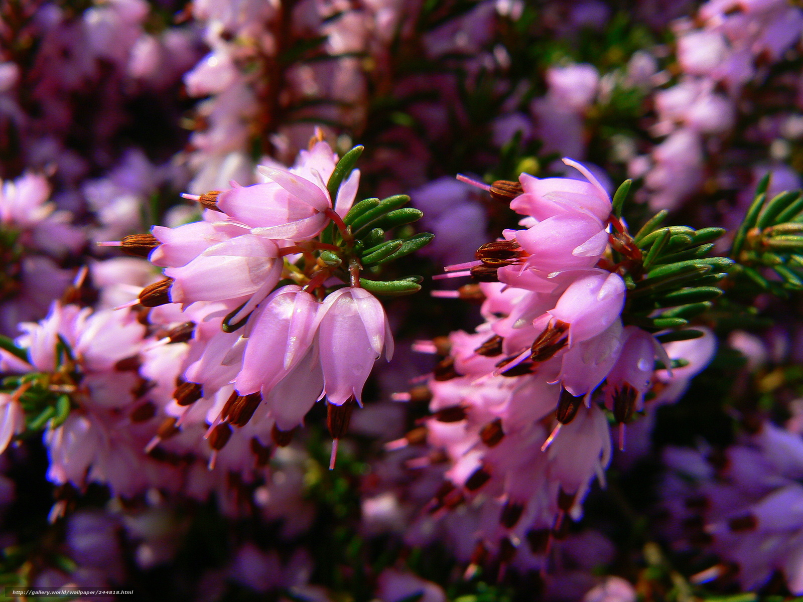 Tlcharger Fond d'ecran rose,  Fleurs,  Nature Fonds d'ecran gratuits pour votre rsolution du bureau 2304x1728 — image №244818