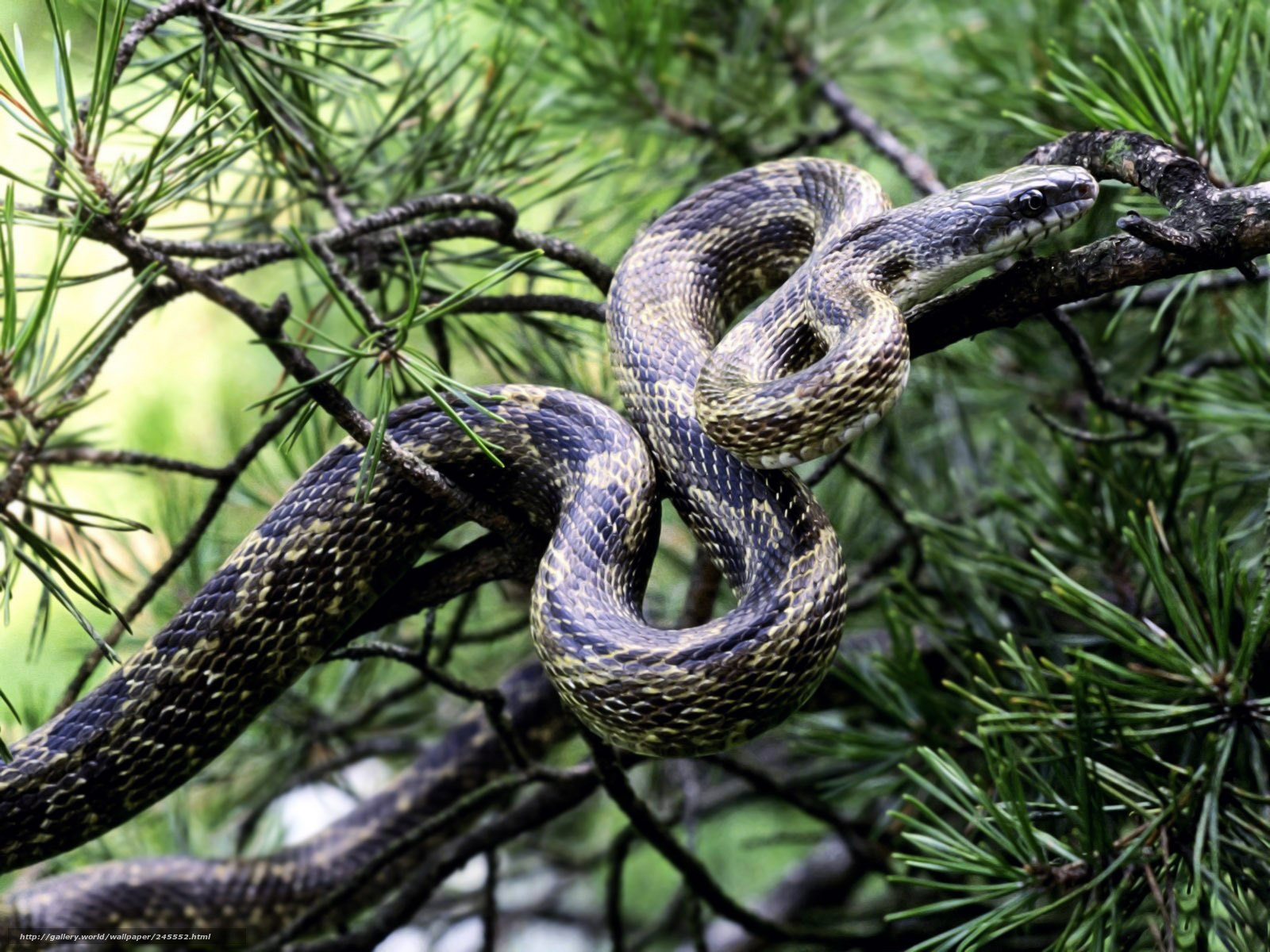 Download wallpaper snake,  tree,  leaves,  poison free desktop wallpaper in the resolution 1600x1200 — picture №245552