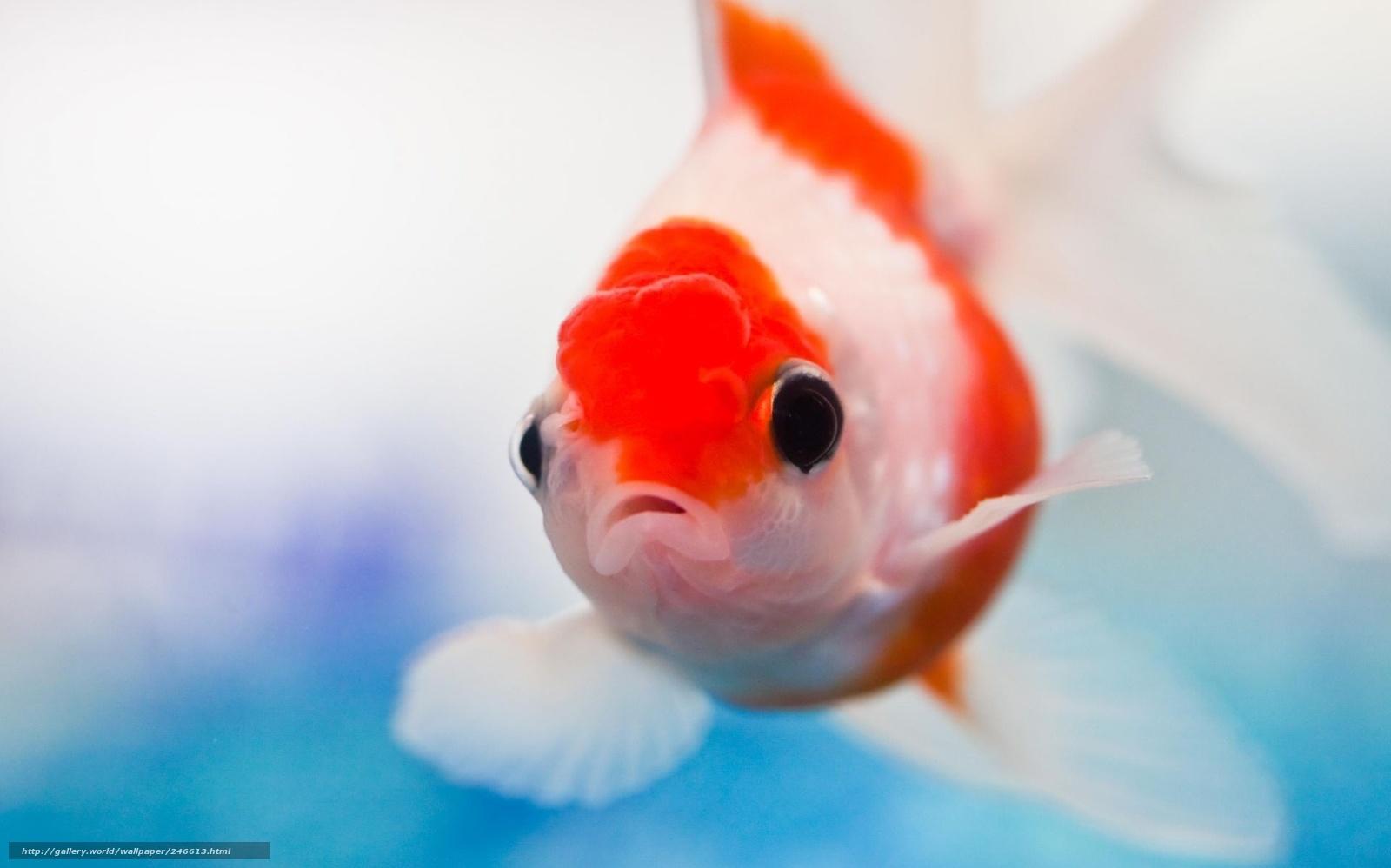Скачать обои Рыба,   золотая,   креатив бесплатно для рабочего стола в разрешении 1920x1199 — картинка №246613
