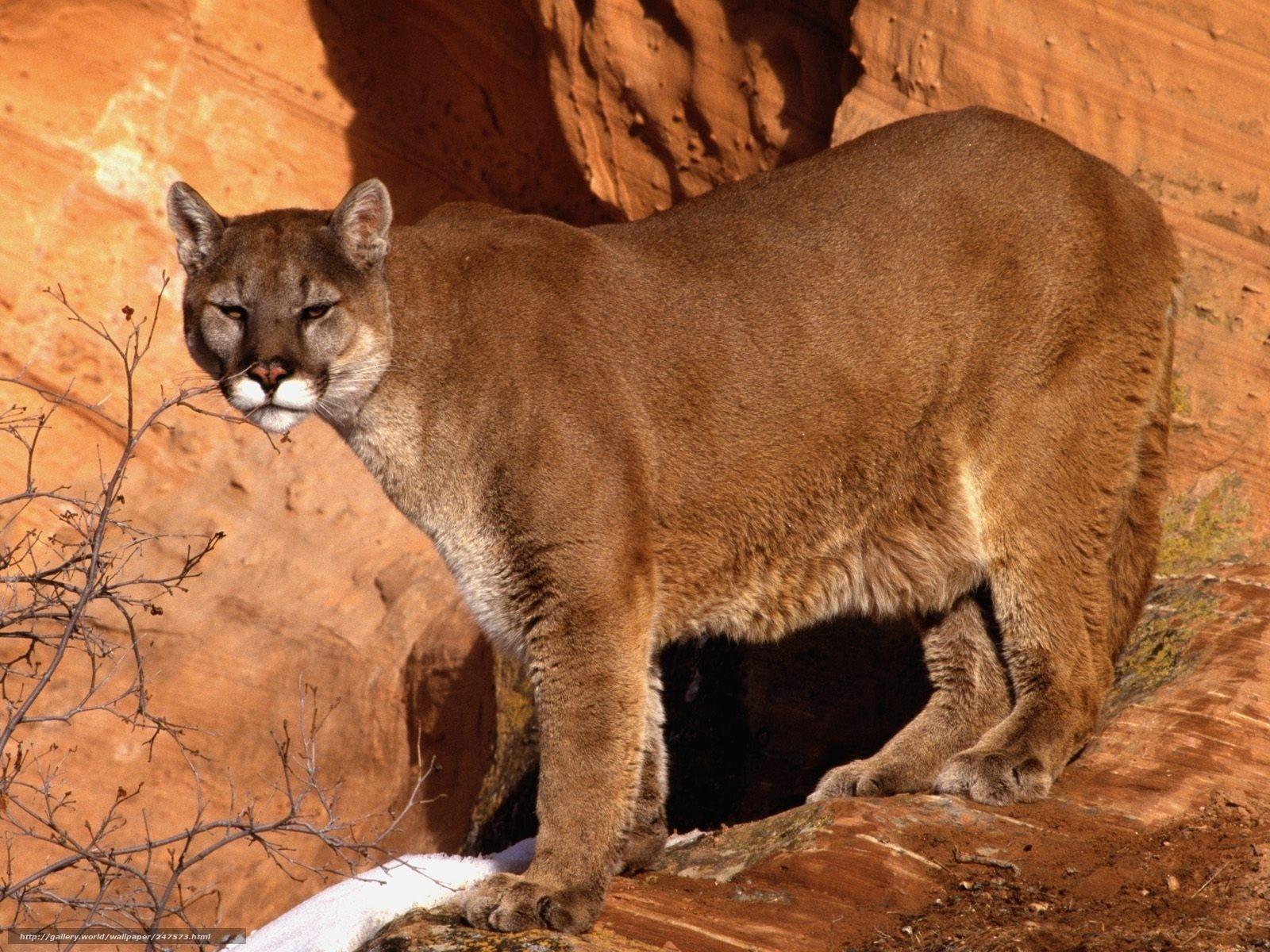 puma animal 41 background - photo #17
