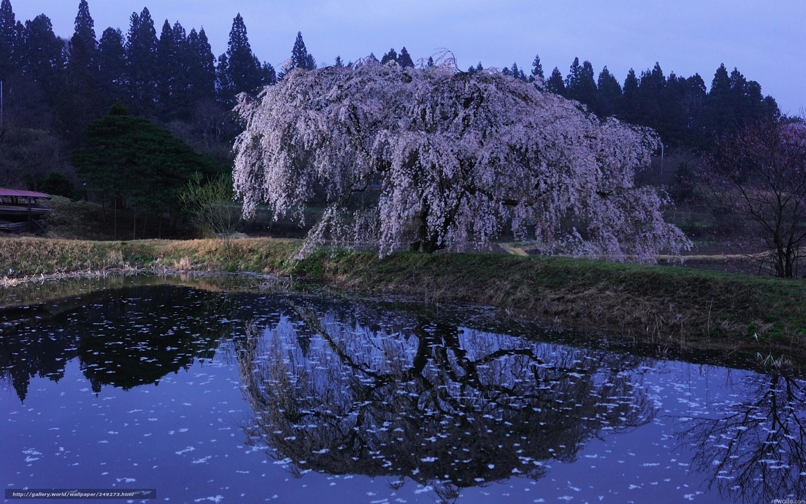 Download wallpaper sakura,  water,  evening,  Japan free desktop wallpaper in the resolution 2560x1600 — picture №249273