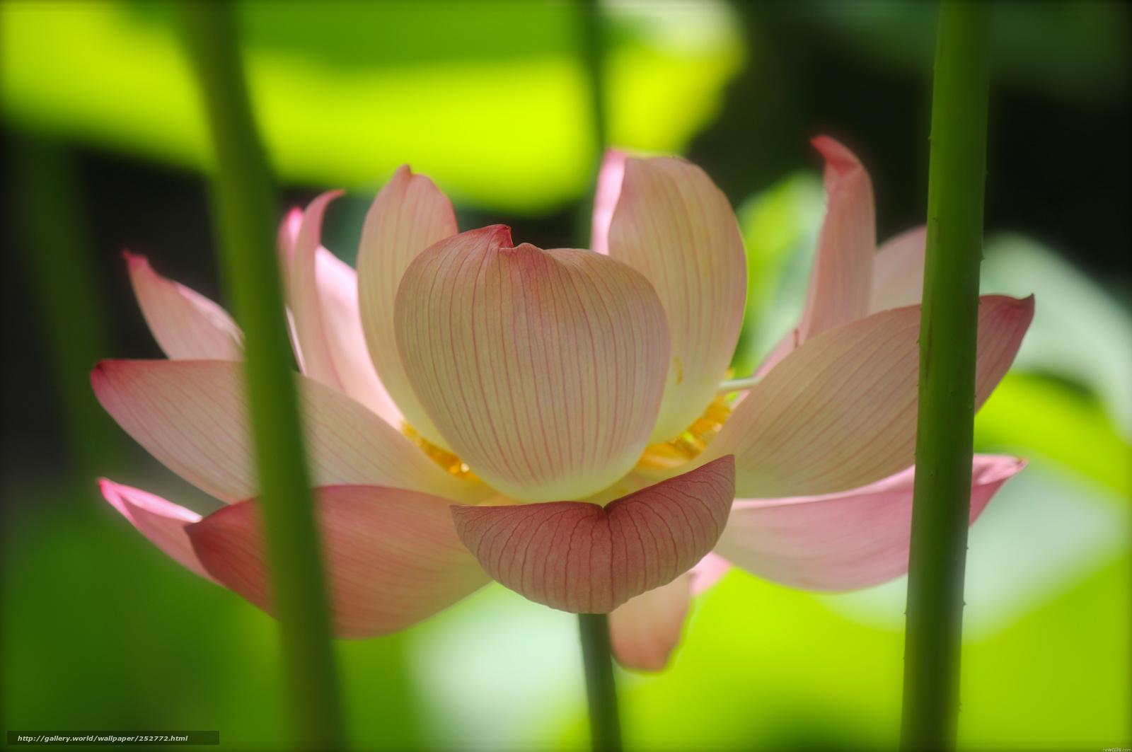 壁紙をダウンロード 蓮 ピンク 花 茎 デスクトップの解像度のための無料壁紙 4288x2848 絵 №
