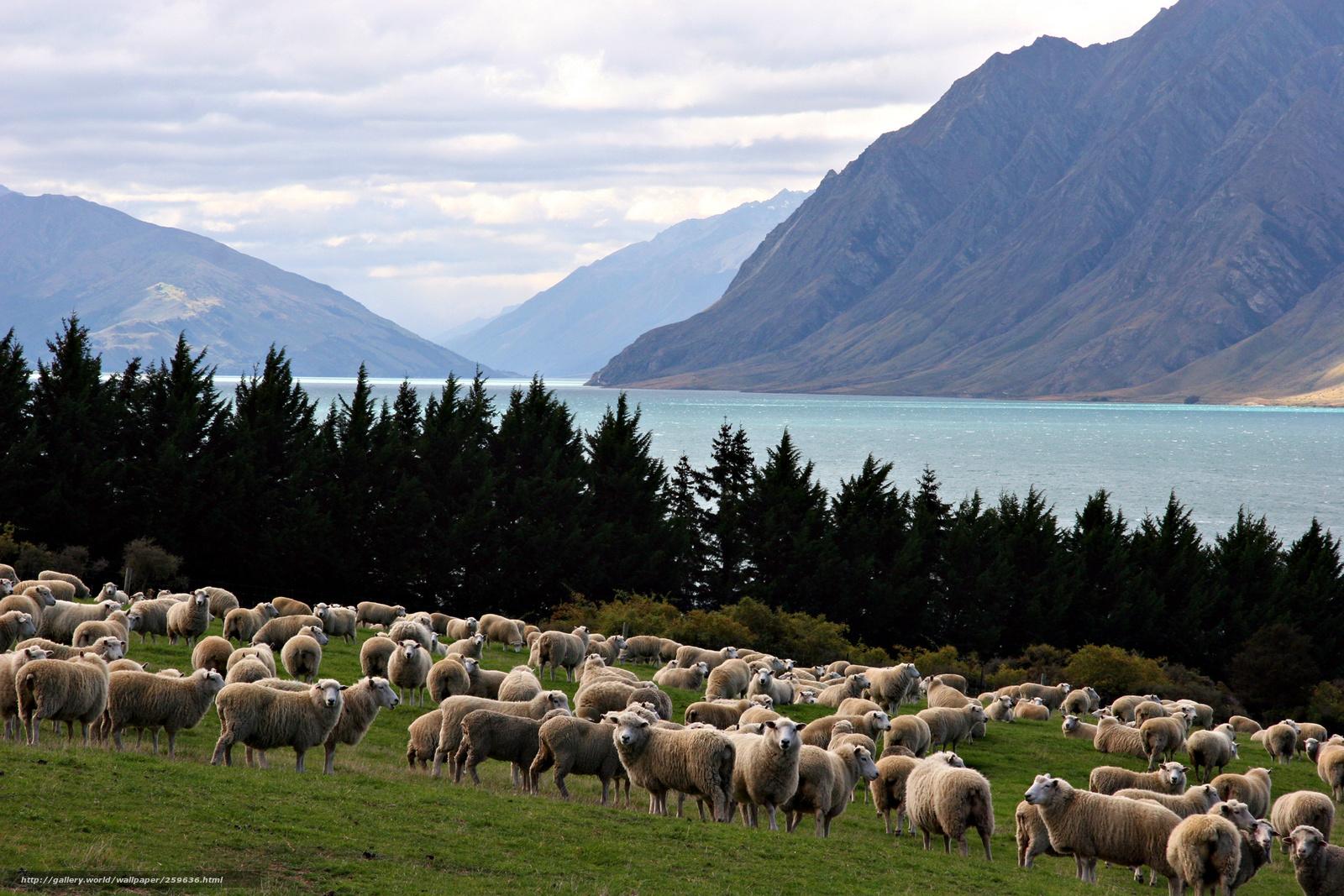 Скачать обои овцы,   горы,   природа бесплатно для рабочего стола в разрешении 2100x1400 — картинка №259636