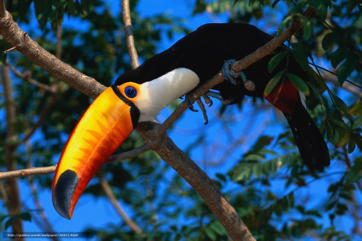 Tlcharger Fond D Ecran Oiseau Tuki Exotiques Fonds D Ecran Gratuits Pour Votre Rsolution Du Bureau 4096x2731 Image 26011