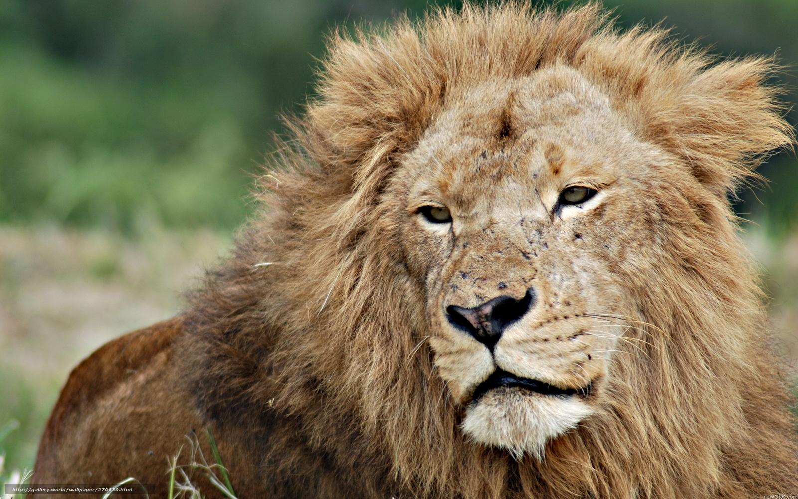 Скачать обои лев,   старость,   природа бесплатно для рабочего стола в разрешении 2560x1600 — картинка №270630
