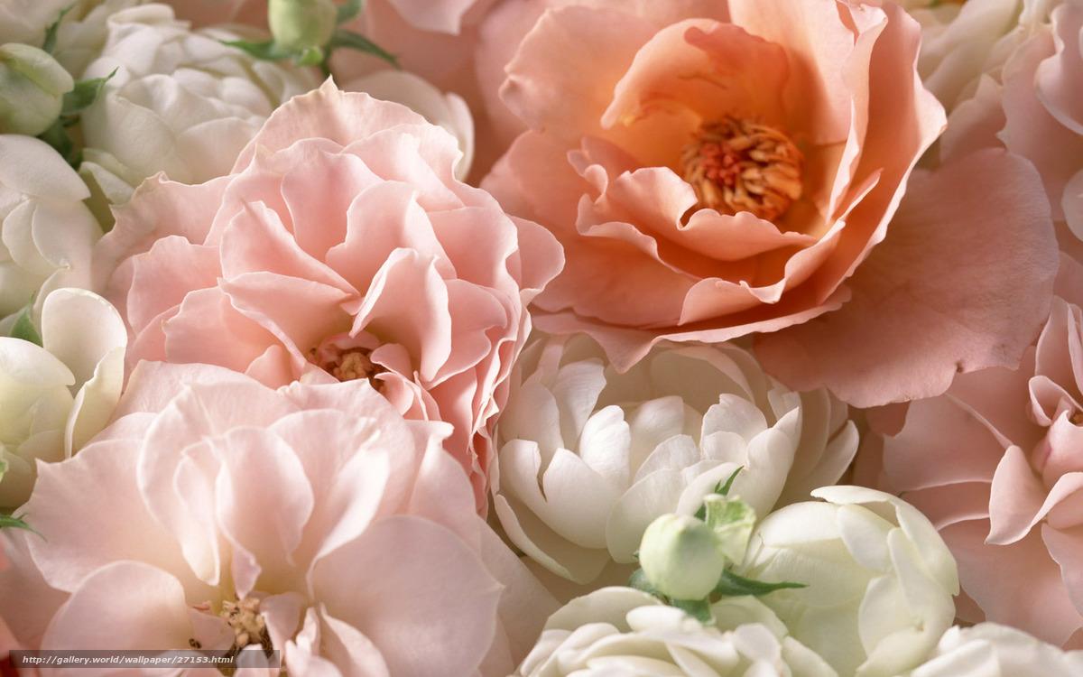 Descargar gratis Rosa,  rosa de t,  rosa,  Ptalos Fondos de escritorio en la resolucin 1680x1050 — imagen №27153