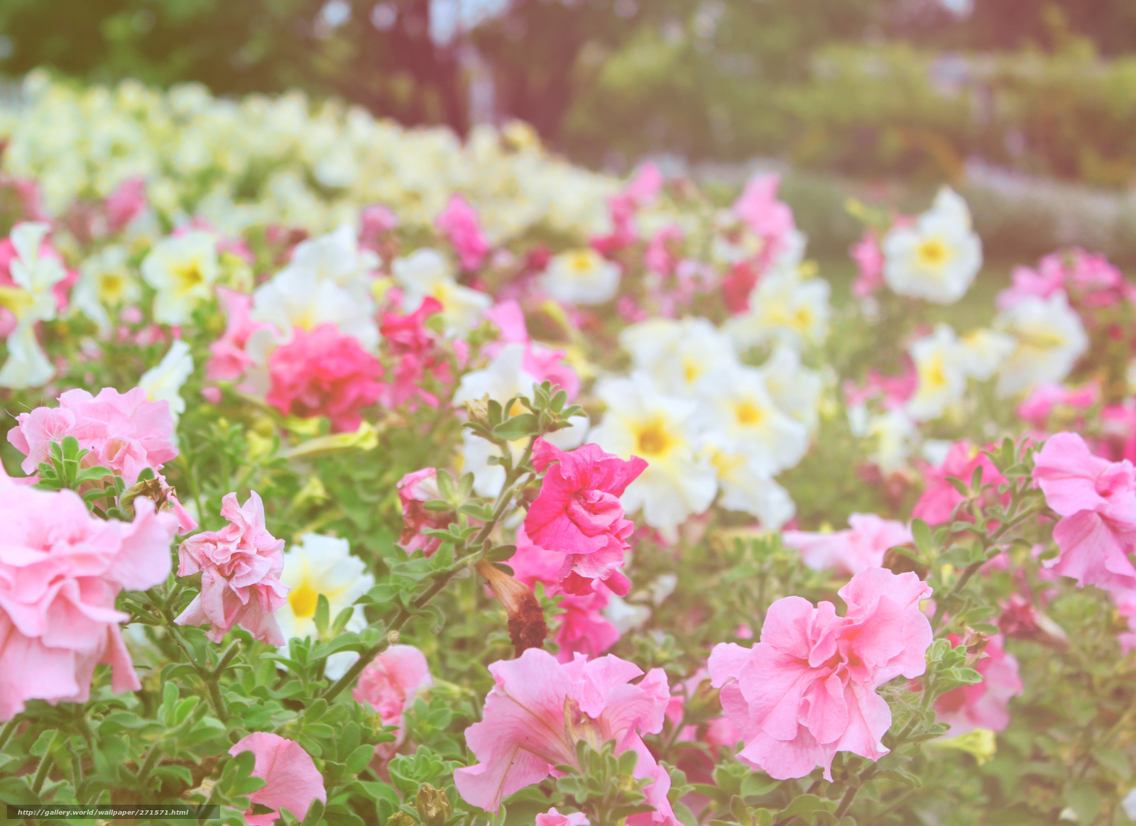 tlcharger fond d 39 ecran fleurs tendresse parterre de fleurs fonds d 39 ecran gratuits pour votre. Black Bedroom Furniture Sets. Home Design Ideas