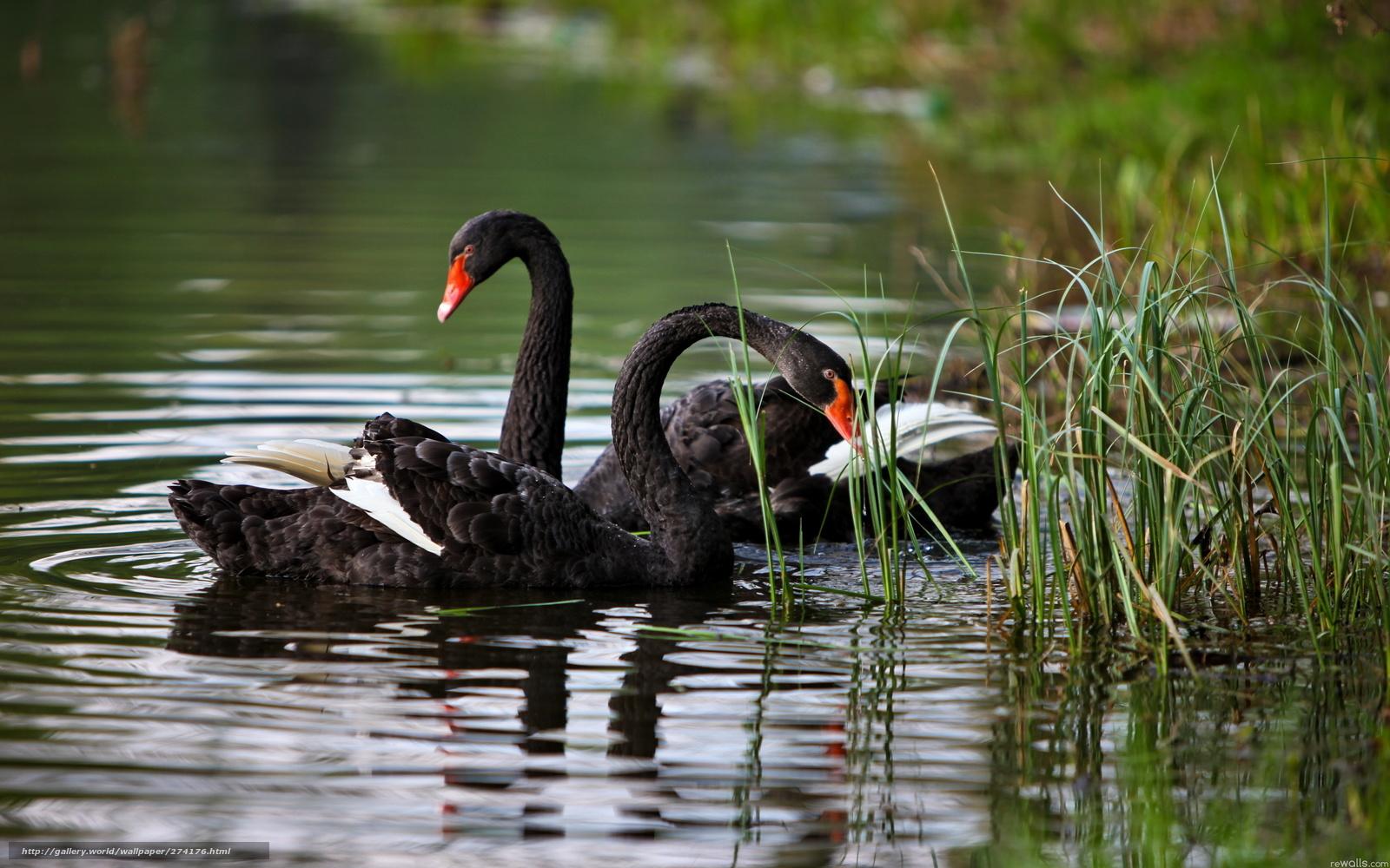 ᐈ Черный лебедь фотографии и картинки черный лебедь