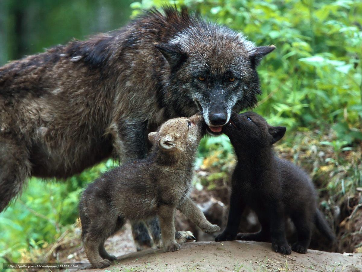 Скачать обои волки,  малыши,  волчата,  любовь бесплатно для рабочего стола в разрешении 1600x1200 — картинка №27562