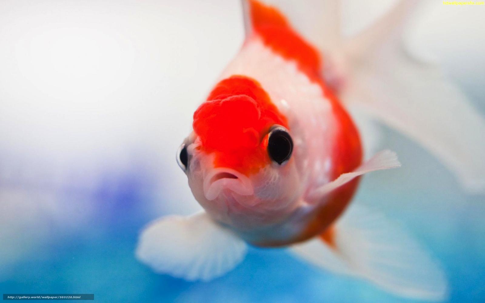 Скачать обои Золотая,   рыбка,   аквариум бесплатно для рабочего стола в разрешении 1920x1200 — картинка №303220