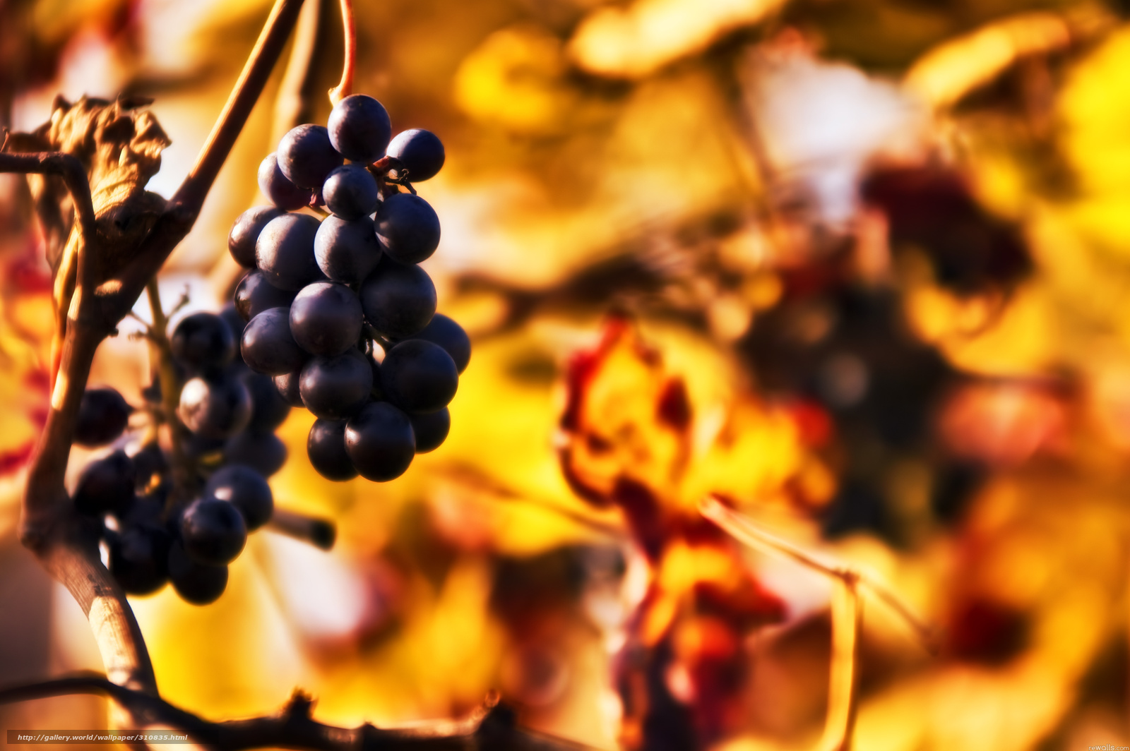 Download wallpaper grapes,  clusters,  twig free desktop wallpaper in the resolution 3008x2000 — picture №310835