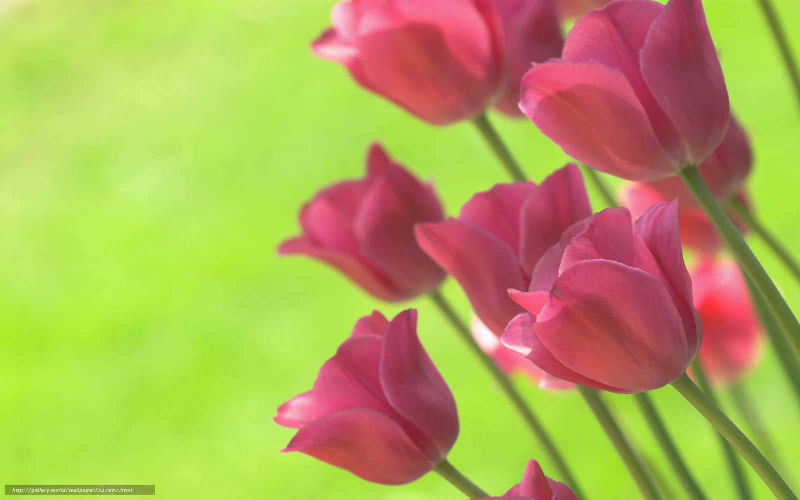 Download wallpaper Tulips,  bright,  lime,  background free desktop wallpaper in the resolution 1920x1200 — picture №317907