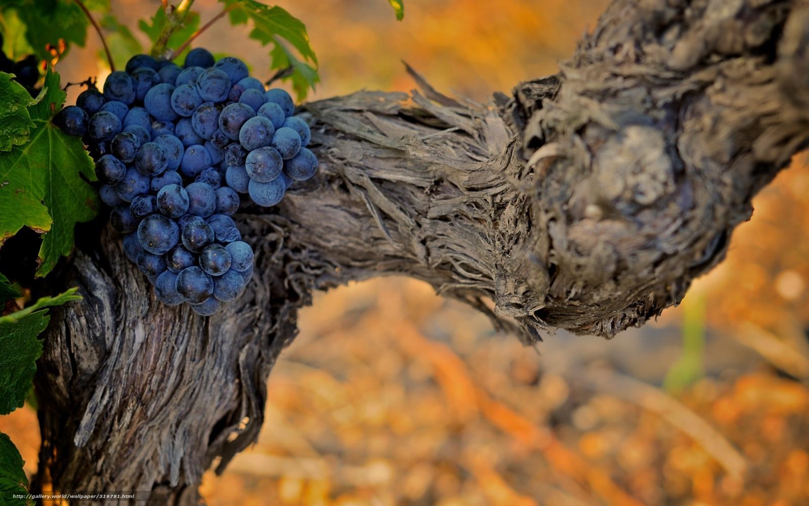 Виноградная лоза рисунки картинки 5
