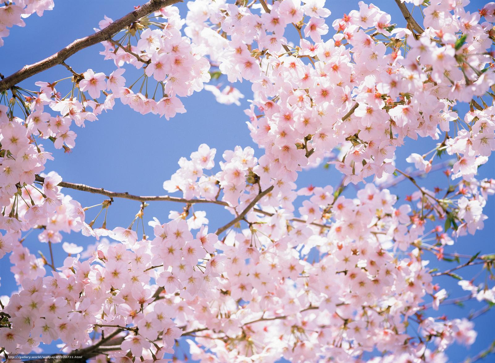 Tlcharger Fond D Ecran Japon Cerisiers En Fleurs Cerise Branche