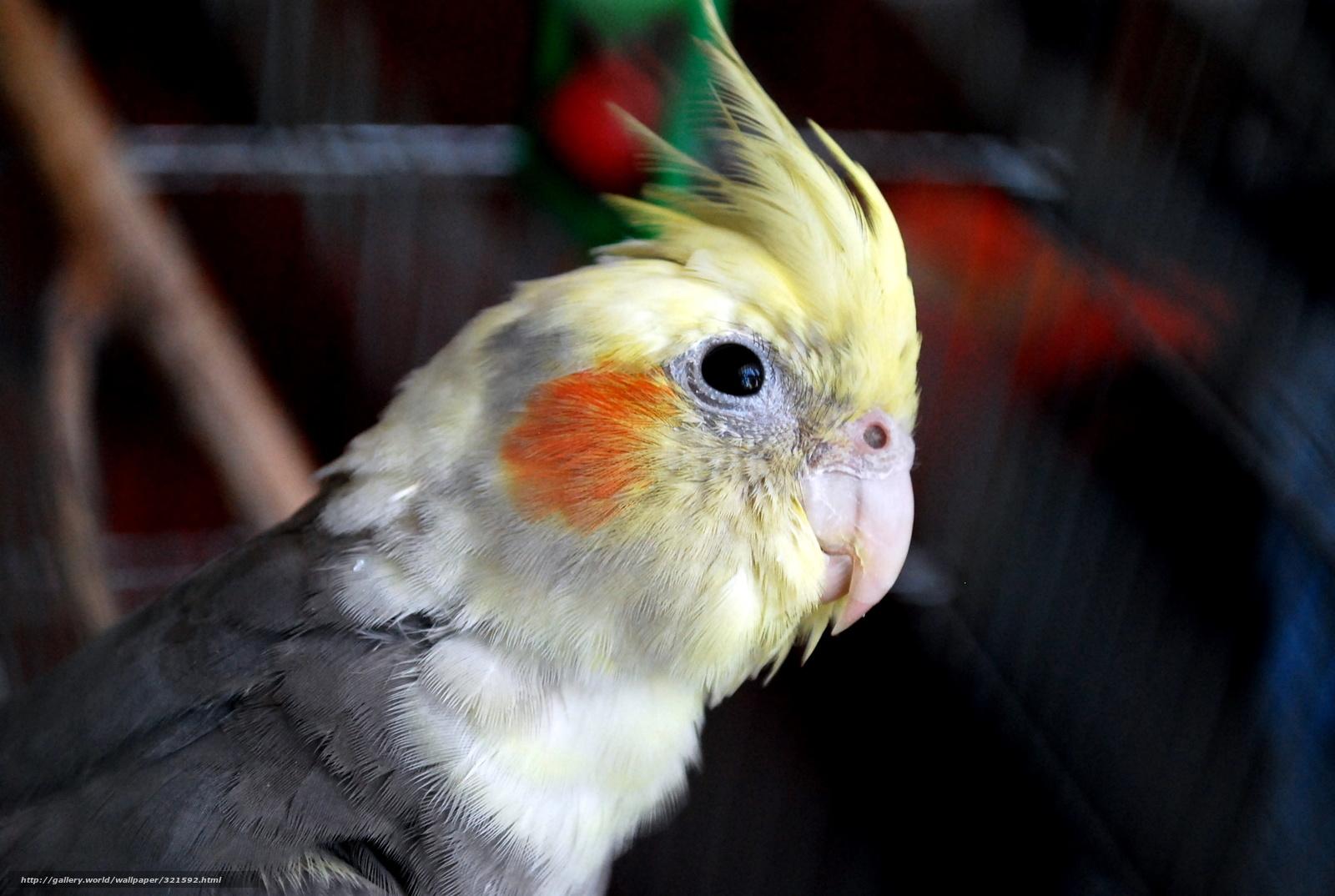 Скачать обои попугай,   корелла,   птица бесплатно для рабочего стола в разрешении 2896x1944 — картинка №321592