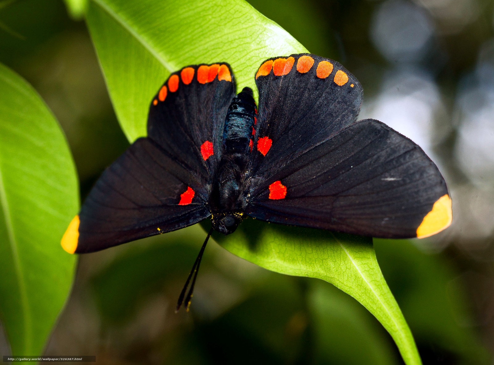 Download wallpaper butterfly,  black,  large,  foliage free desktop wallpaper in the resolution 1920x1420 — picture №326387