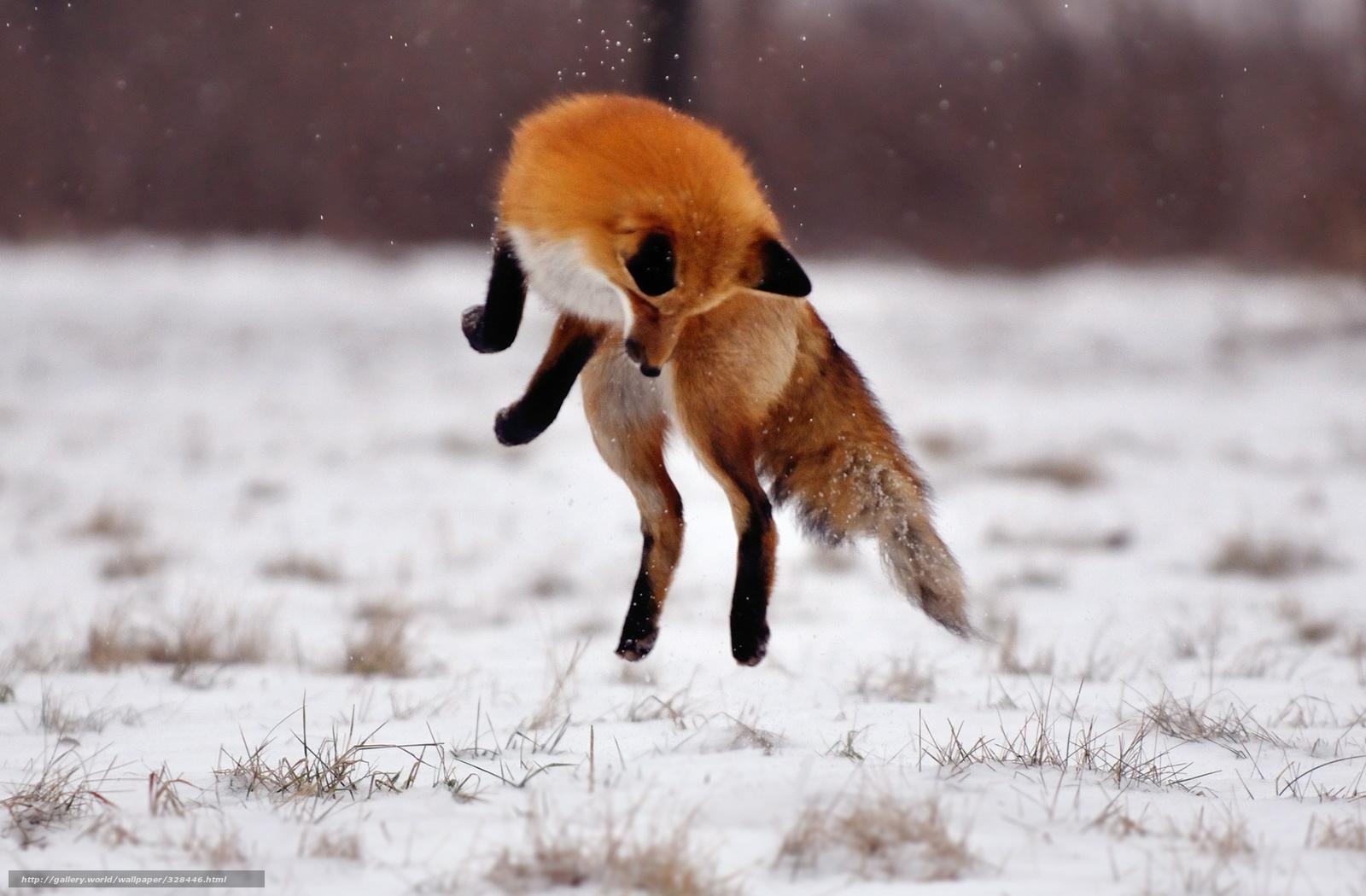 Tlcharger fond d 39 ecran renard sauter hiver champ fonds for Fond ecran hiver animaux