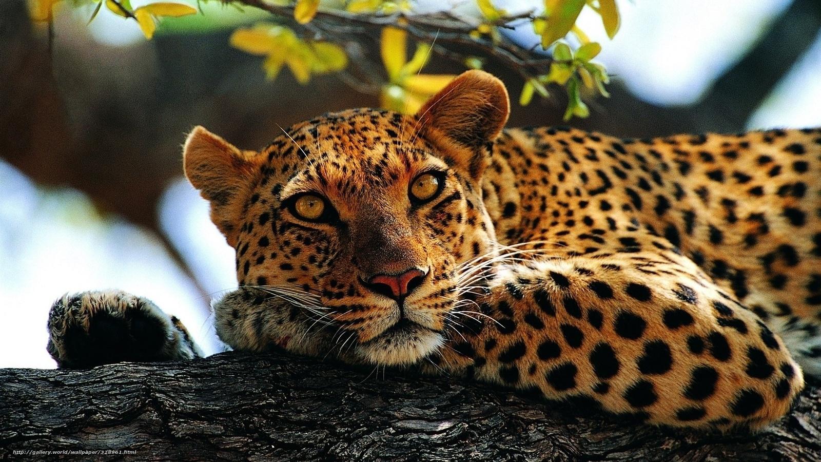 Gepard pisst auf Wirt