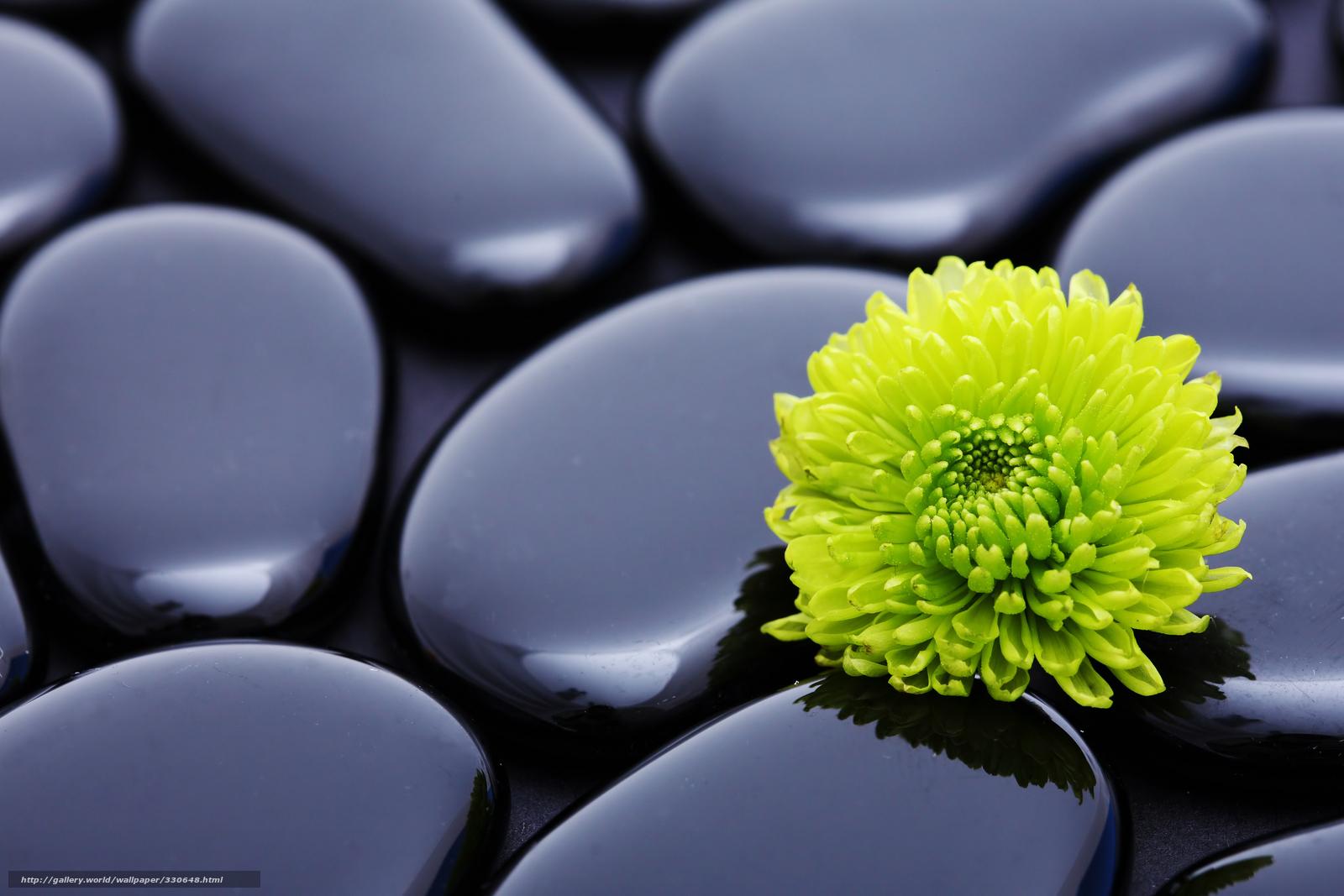Wallpaper steine blumen  Download Hintergrund Steine, Blume, Chrysantheme, Harmonie Freie ...
