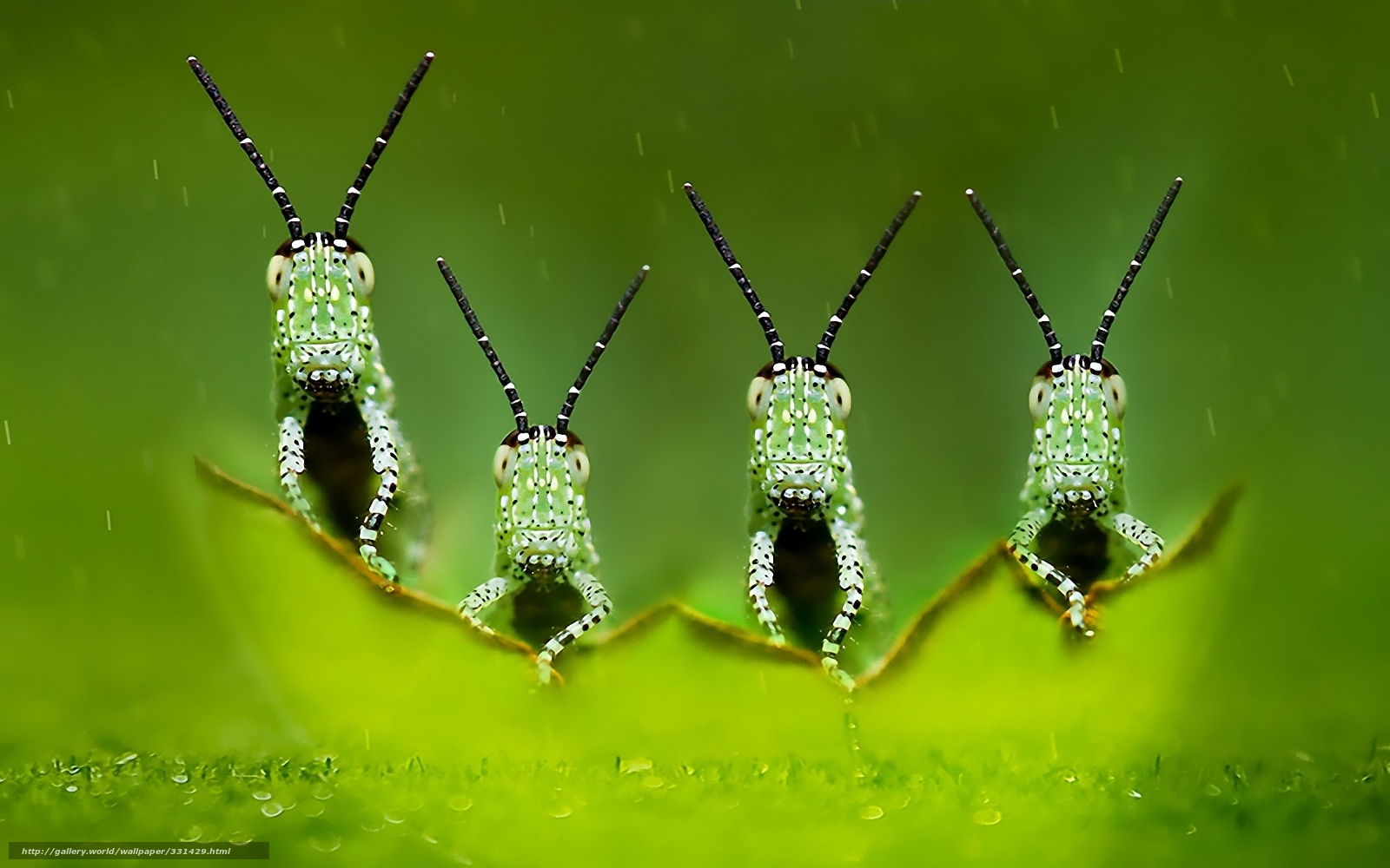 download wallpaper quartet, green, grasshoppers free desktop