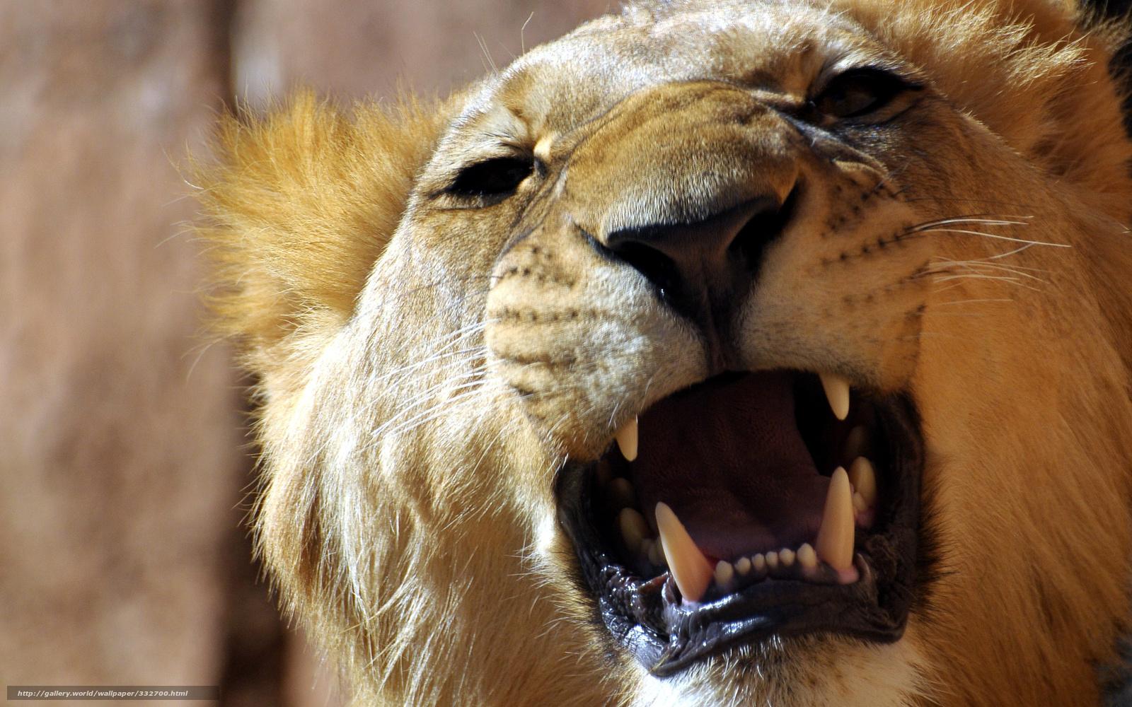 Scaricare gli sfondi leone ruggito denti fauci sfondi for Sfondi leone