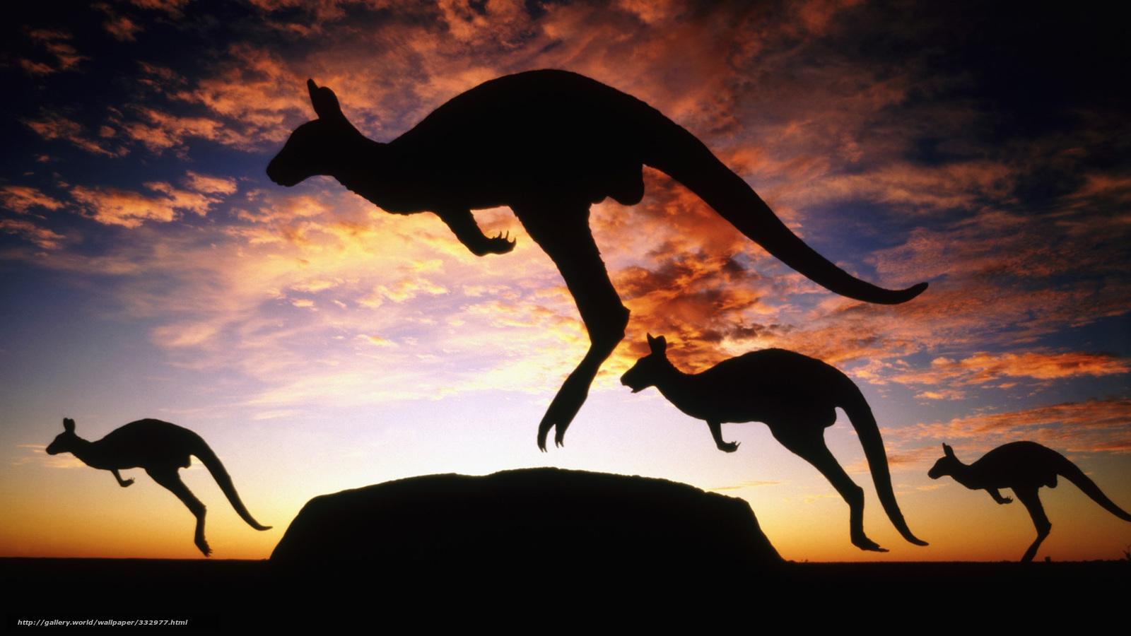 fond d'ecran gratuit kangourou