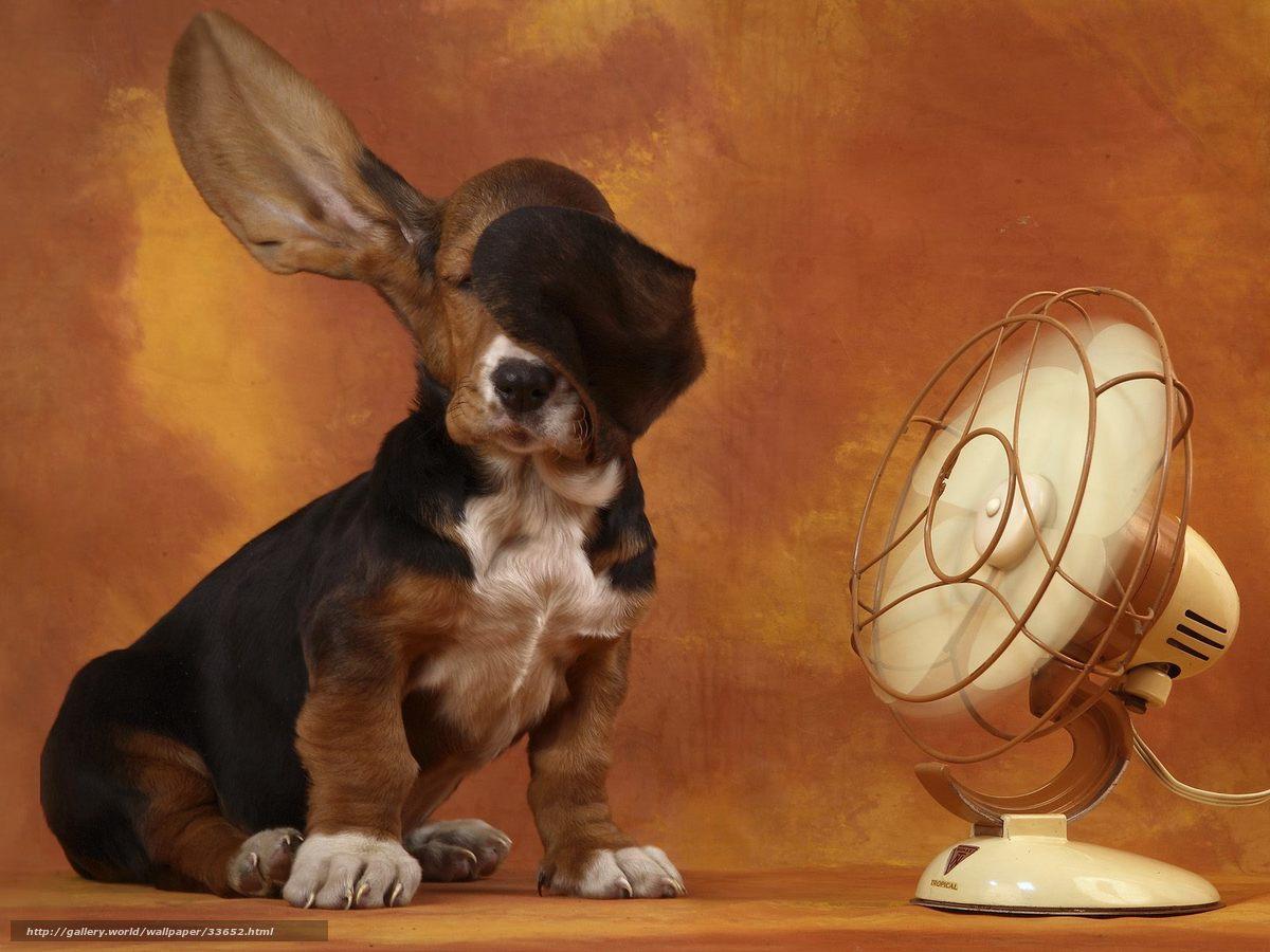 Descargar gratis basset,  ventilador,  orejas Fondos de escritorio en la resolucin 1600x1200 — imagen №33652