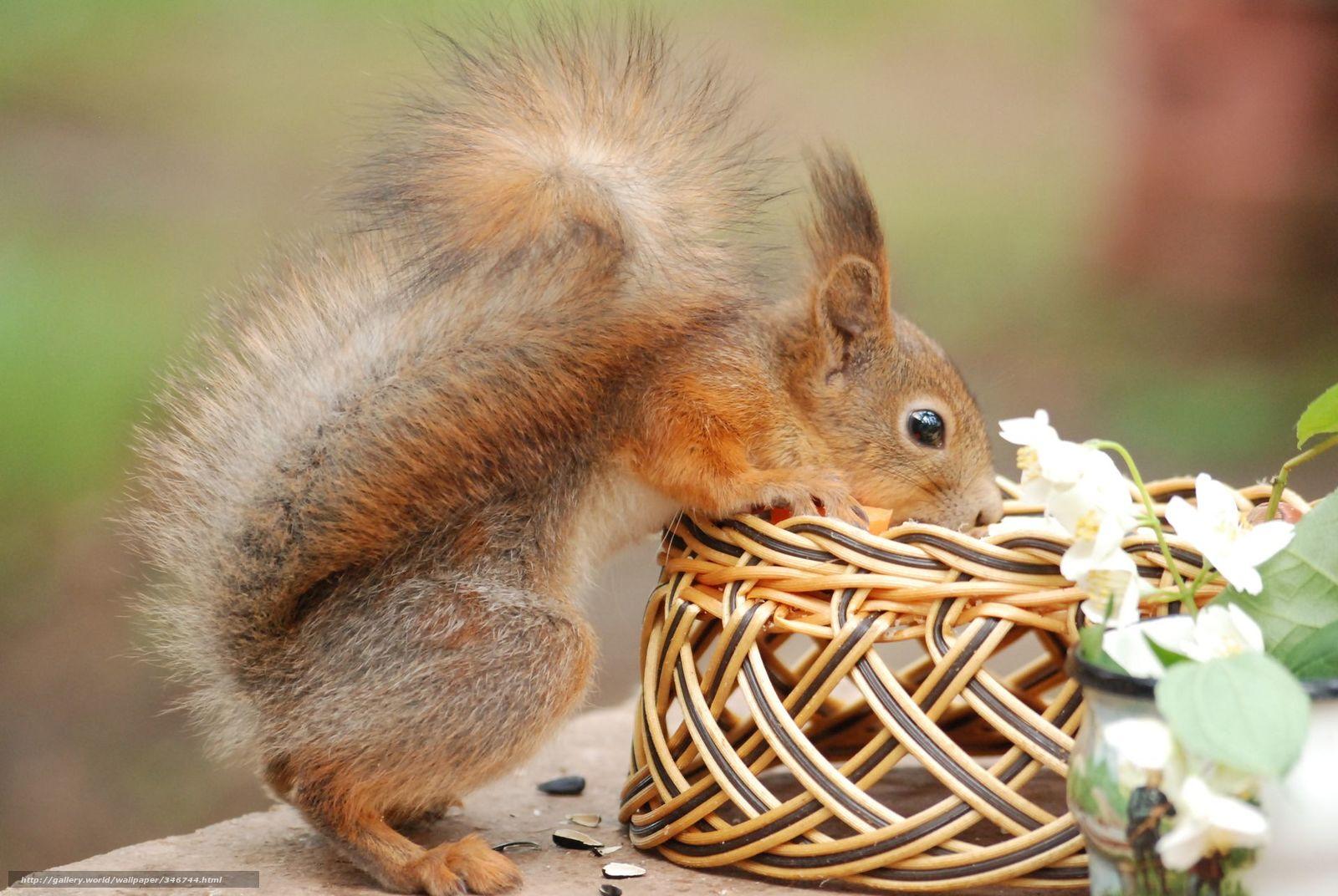 Download wallpaper squirrel,  curiosity,  basket free desktop wallpaper in the resolution 1920x1286 — picture №346744
