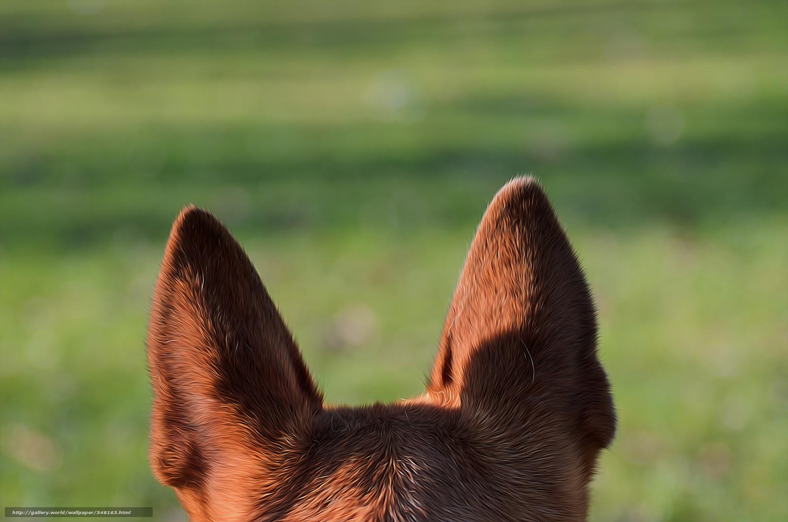 Download wallpaper shepherd,  dog,  ears free desktop wallpaper in the resolution 4928x3264 — picture №348163