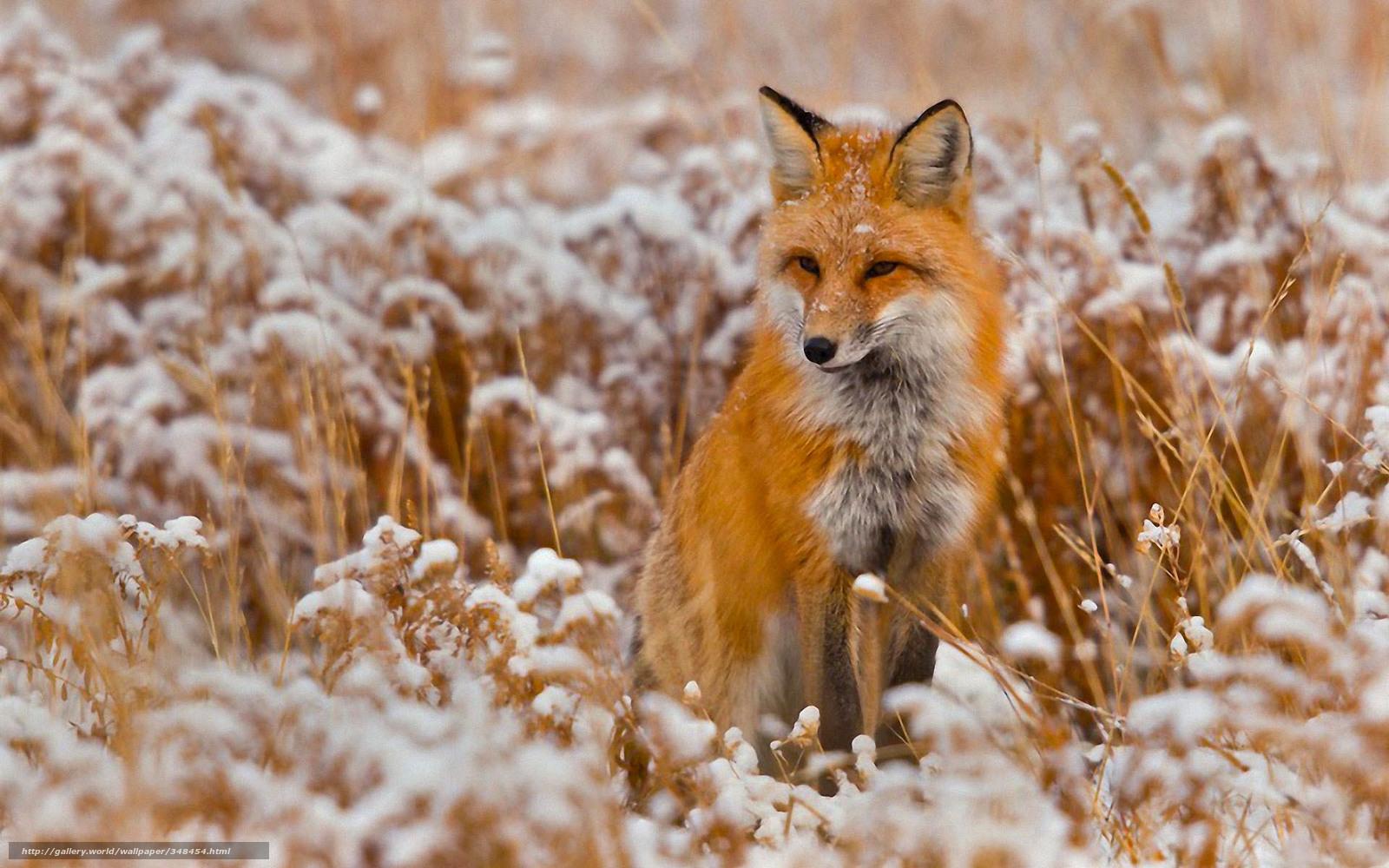 Tlcharger fond d 39 ecran animal renard hiver neige fonds for Fond ecran hiver animaux