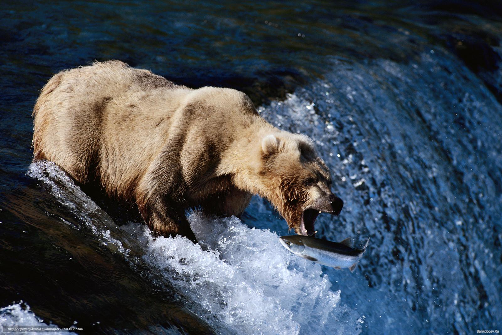 魚を捕らえる寸前の熊
