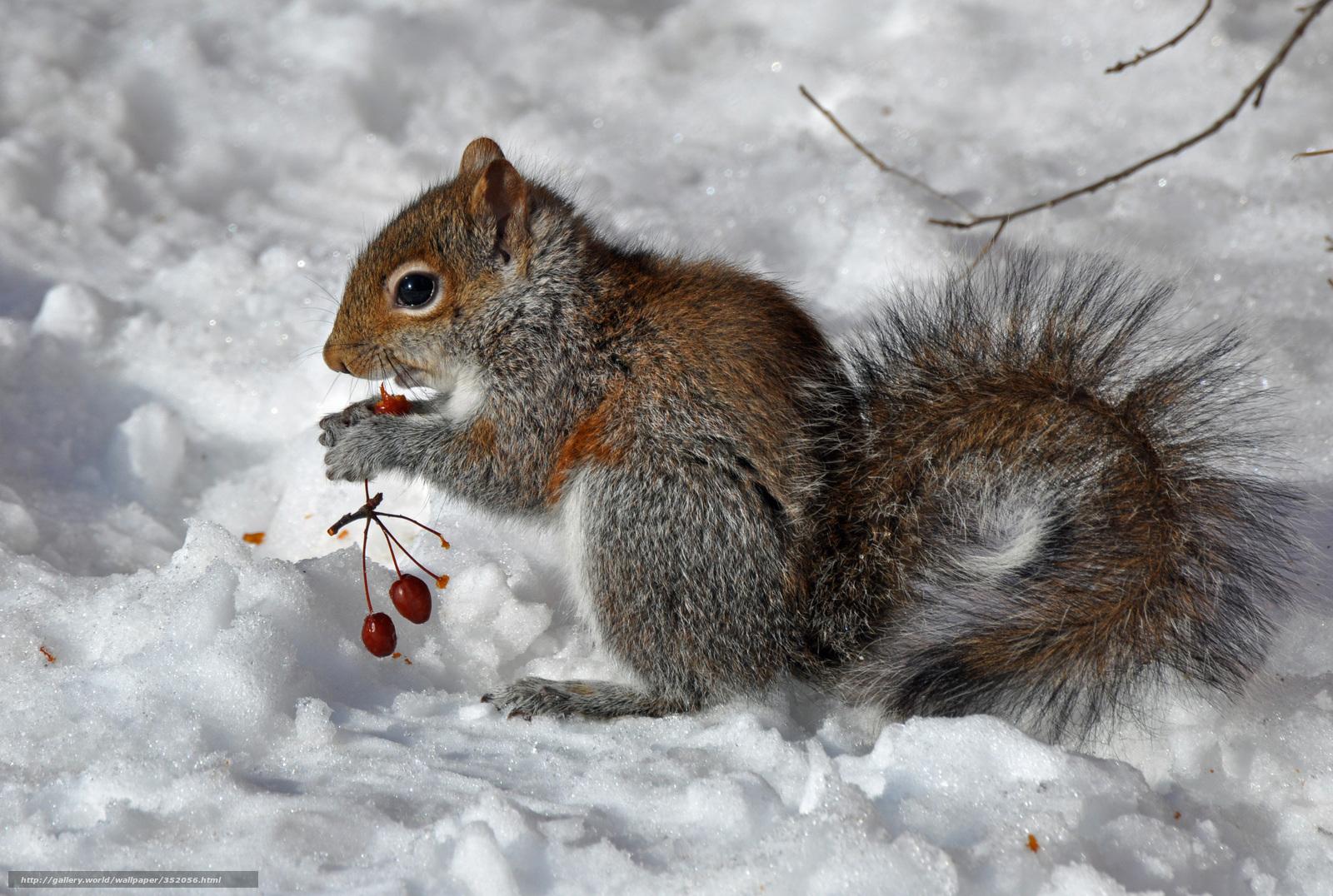 Scaricare Gli Sfondi Inverno Scoiattolo Bacche Sfondi Gratis Per