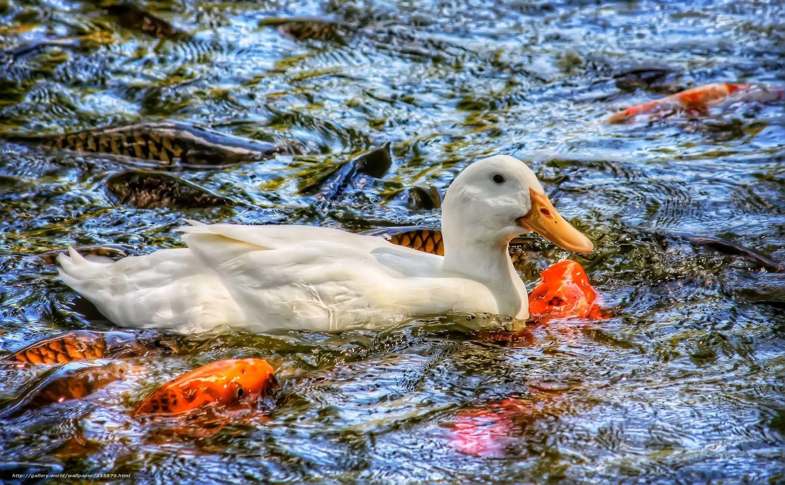 Download hintergrund ducken karpfen fisch koi freie for Carpa koi butterfly