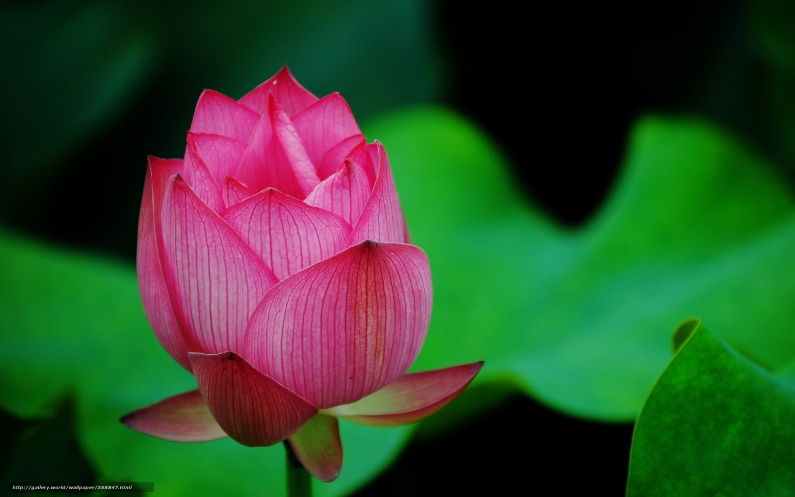 Tlcharger Fond D Ecran Lotus Fleur Macro Bourgeon Fonds