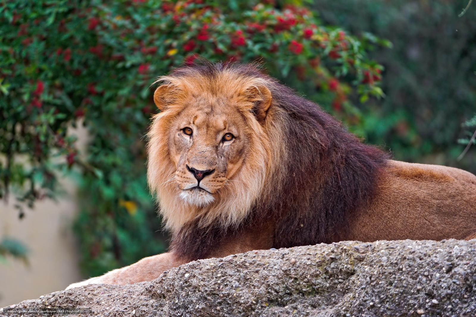 Scaricare gli sfondi leone criniera guarda sfondi for Sfondi leone